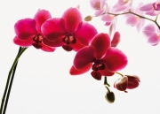 Orchid Floral Giant Wall Mural Paper Decoration